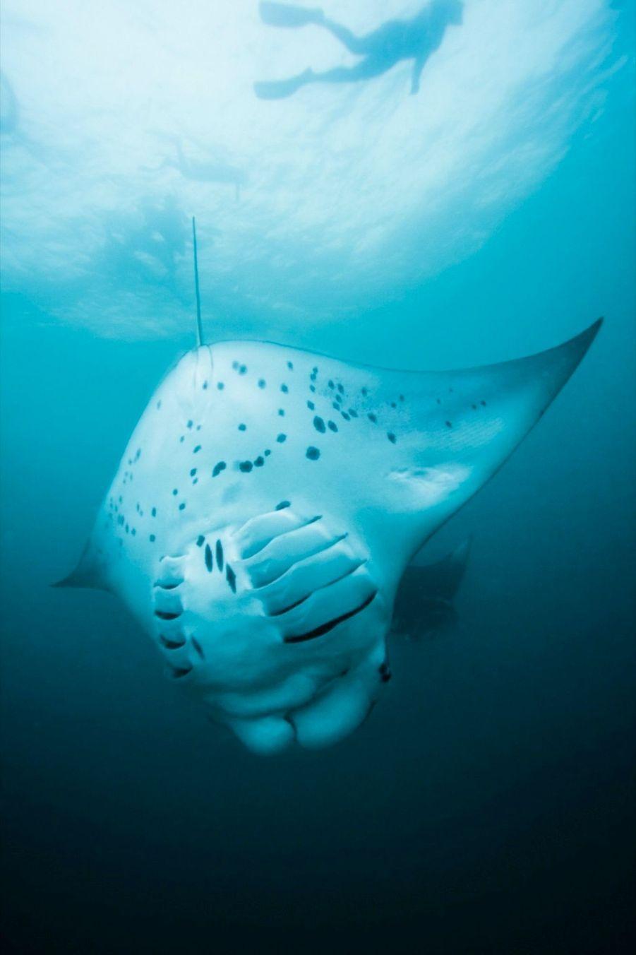 A 37 mètres sous l'eau, les raies ne sont pas gênées par les émissions électriques et acoustiques.