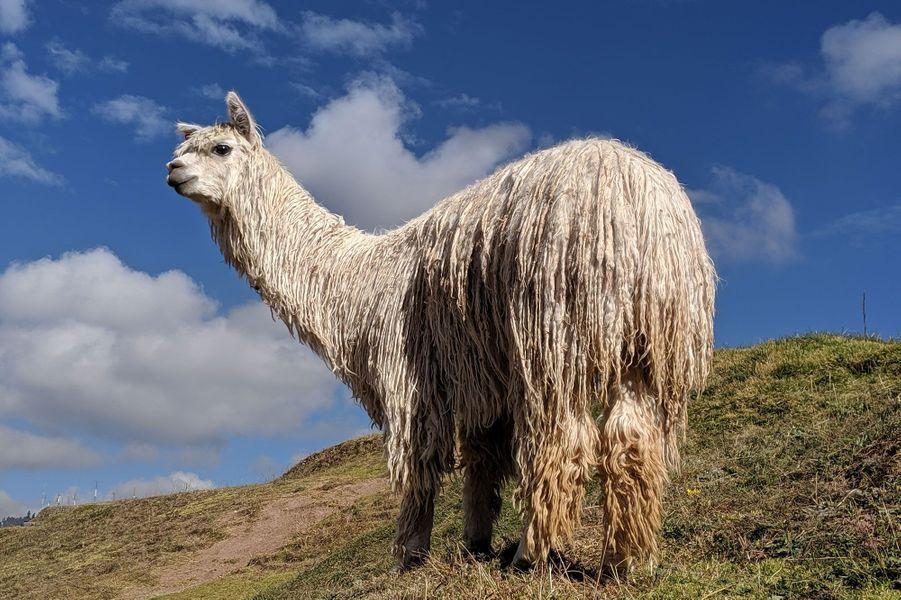 Un lama surveille Cusco depuis ses hauteurs àSaqsaywaman.