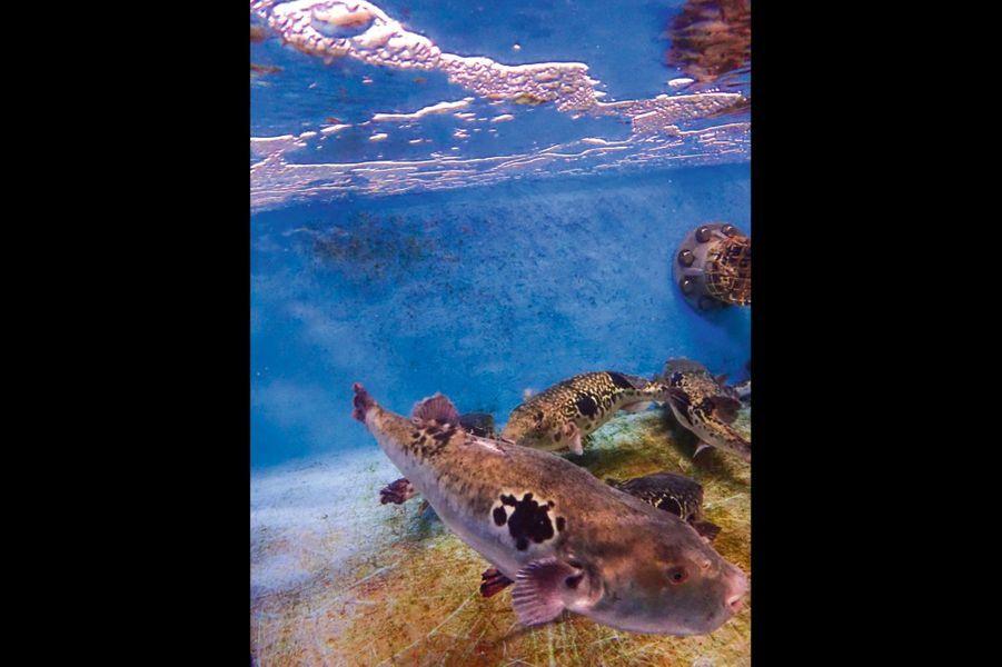 Dans un aquarium, le fugu, aussi appelé « poisson-globe », semble inoffensif.