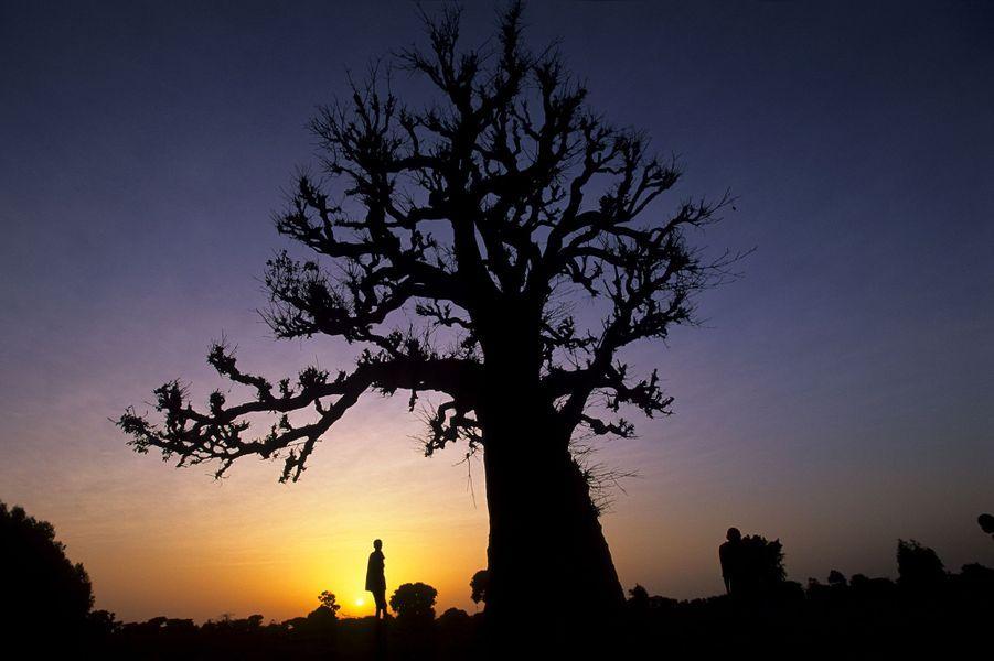 Un baobab au sud de la Petite Côte, Sénégal.
