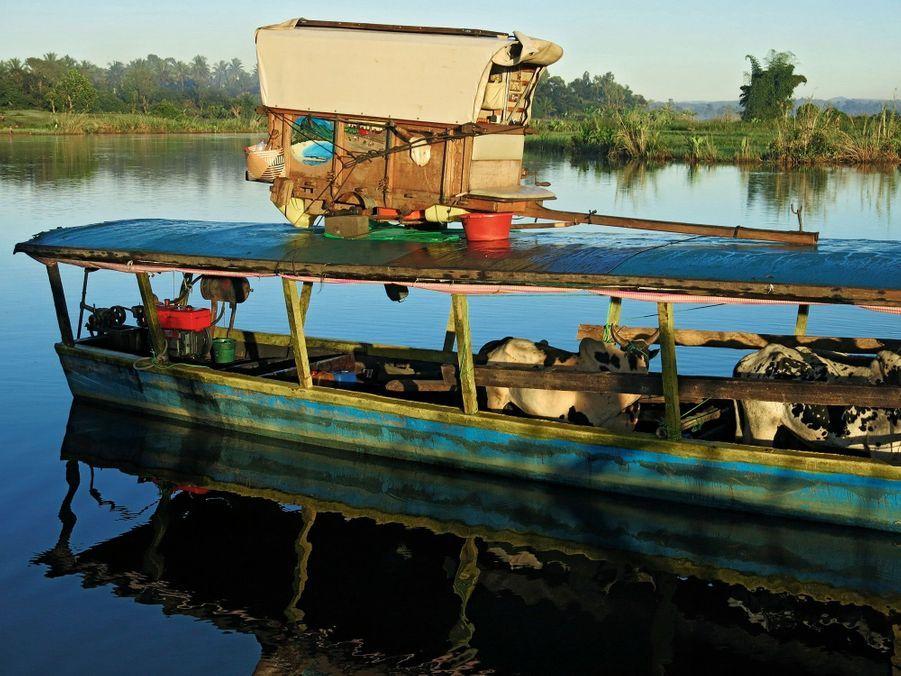 Afin de franchir le canal des Pangalanes : les zébus sont embarqués et le véhicule est mis sur le toit...