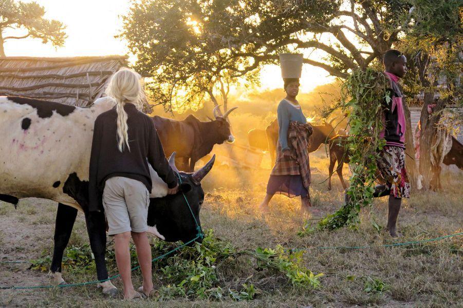 A l'aube, en pays tanalany. Les zébus font le plein de lianes de patates douce