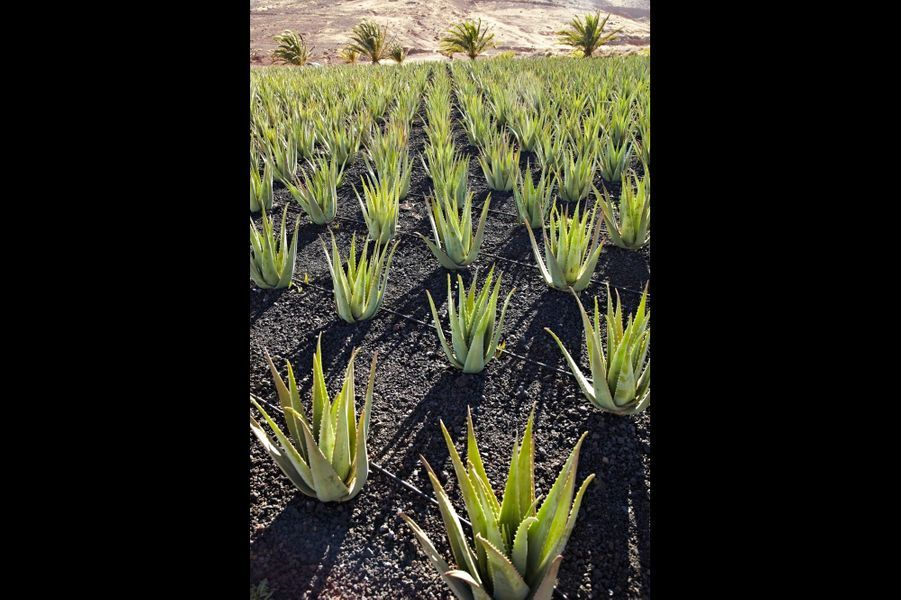 L'Aloe Vera ou « lys du désert » Les îles Canaries produisent la plus grande quantité d'Aloe Vera d'Europe. En trois ans, au lieu de cinq ailleurs, grâce à la minéralité de la roche volcanique, la plante se reproduit. Ses vertus médicinales se déclinent à travers cosmétiques et sirops. Sa pulpe est composée de 200 substances : vitamines, acides aminés, antioxydants, enzymes et sels minéraux. En crème, elle prévient le vieillissement cellulaire par son fort pouvoir hydratant. En sirop, elle renforce les défenses immunitaires, améliore les troubles digestifs et le taux de cholestérol.