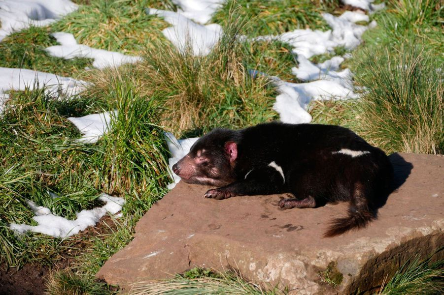 Le célèbre diable de Tasmanie au centre de préservation Devils @ Cradle.