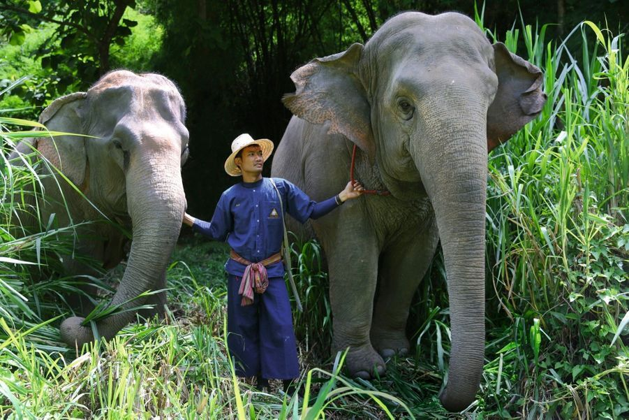 Un mahout et ses deux éléphants. Il veille à ce qu'ils aient une alimentation équilibrée