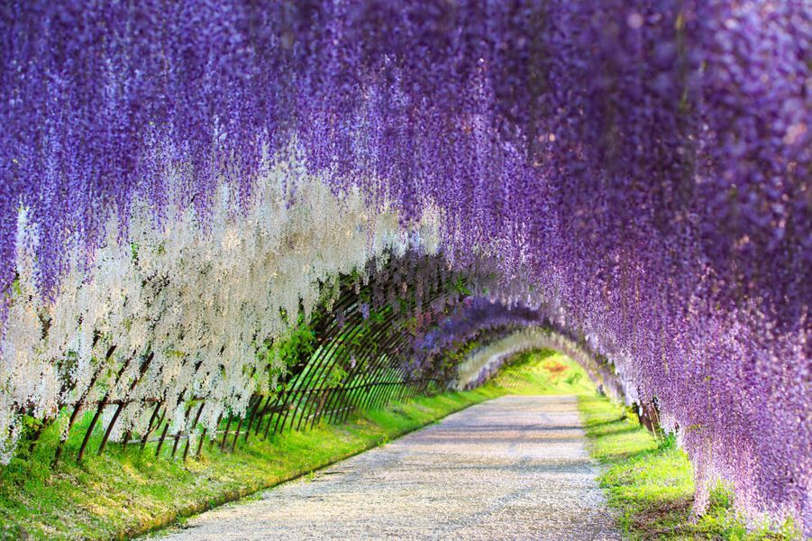 "Japon, parc Ashikaga, ""grand tunnel de glycine"""
