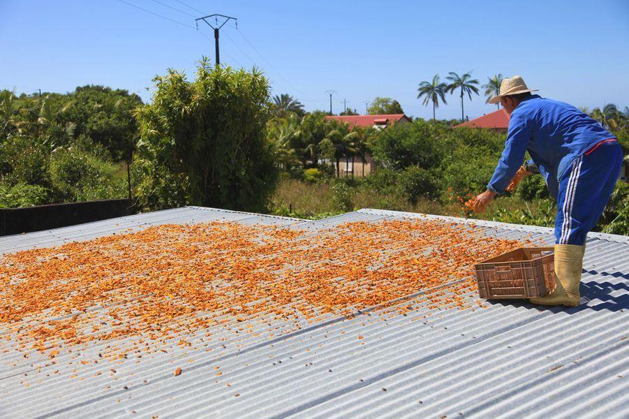 L'île de La Réunion produitun curcuma de luxe,extrait de manière artisanale de la partie centrale de la racine mère