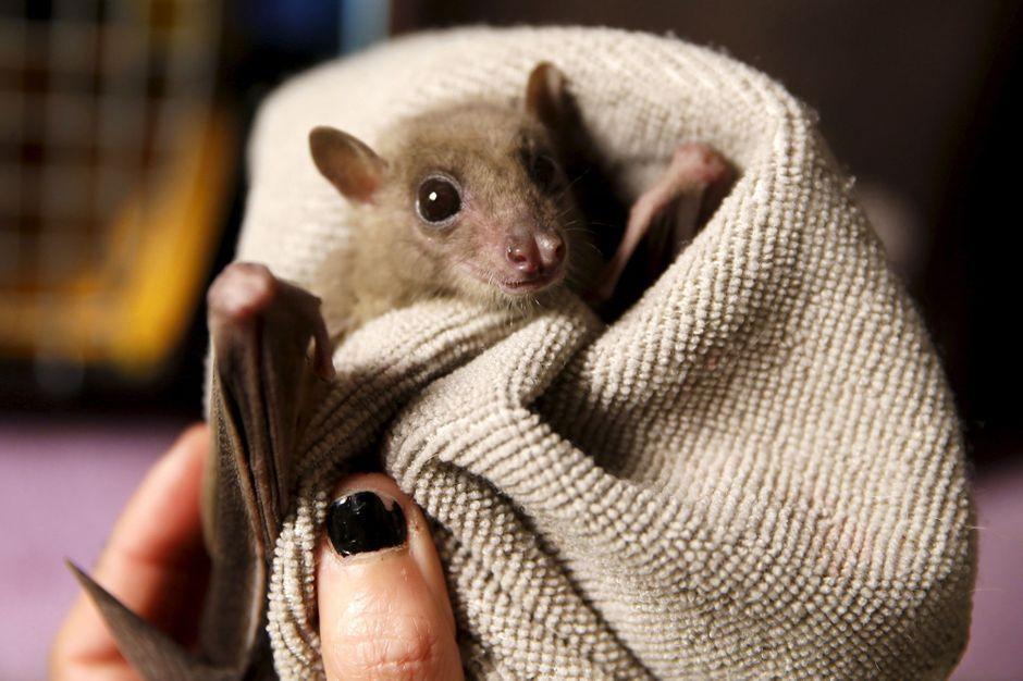 Aux petits soins pour les chauve souris bless es - Image de chauve souris ...