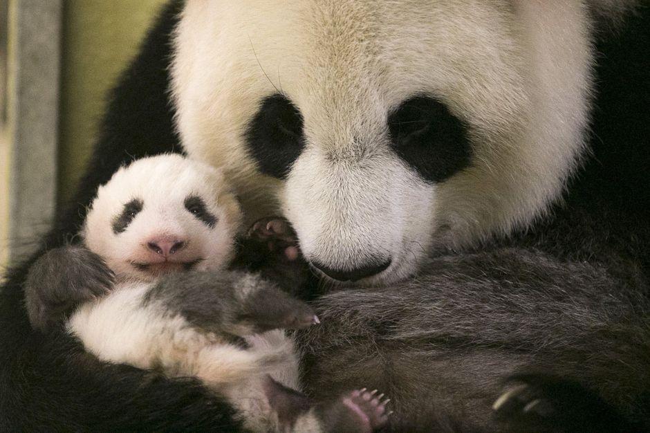 mini yuan zi le b b panda de beauval a bien grandi. Black Bedroom Furniture Sets. Home Design Ideas