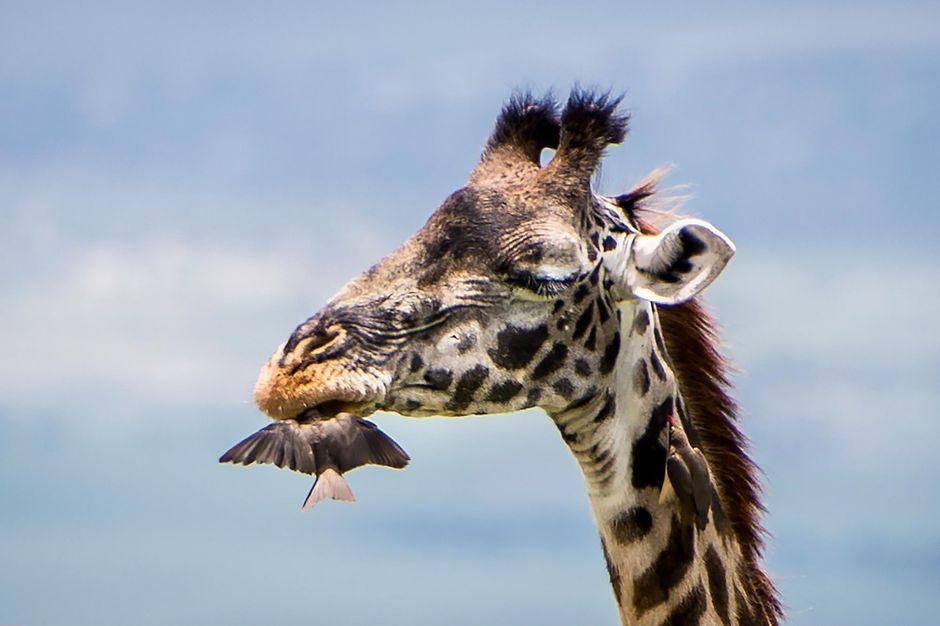 En tanzanie l oiseau joue les dentistes pour une girafe for Prix d une girafe a poncer