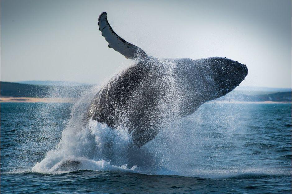 La migration des baleines