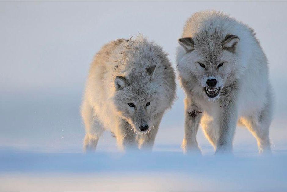 En Images A La Decouverte Du Loup Blanc