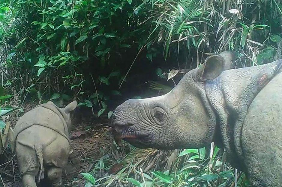 Deux bébés rhinocéros de Java découverts, une nouvelle encourageante pour l'espèce