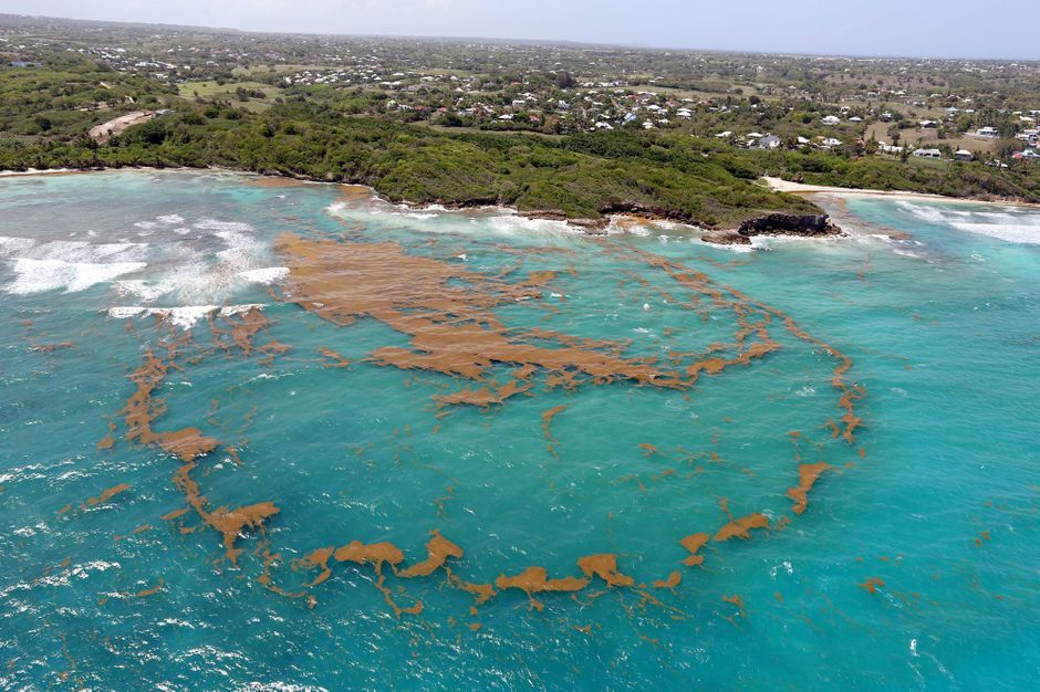 Les horribles sargasses sont de retour en Guadeloupe