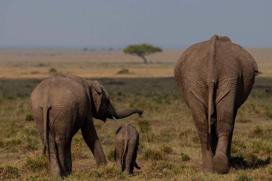 Trafic d'ivoire - L'éléphant d'Afrique, condamné à mourir