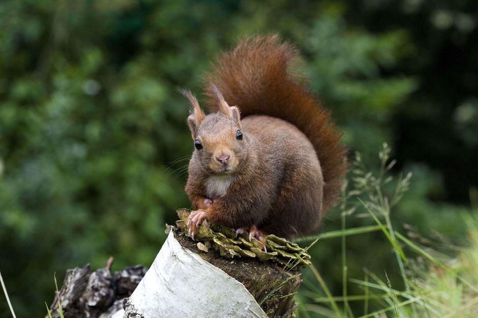 L'écureuil, un joyeux luron qui voit la vie en noir et blanc