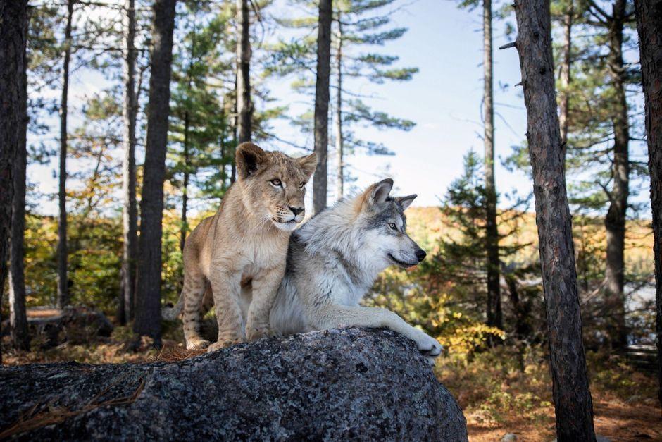 Le loup et le lion, une fraternité à croquer