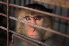 Si rien n'est fait, les singes pourraient disparaître d'ici 25 ans