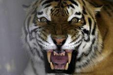 Un tigre tue une femme dans un zoo en Chine