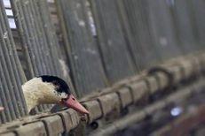 Grippe aviaire : le Sud-Ouest lancé dans une course contre la montre
