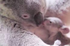 Le bébé koala ne quitte pas sa mère